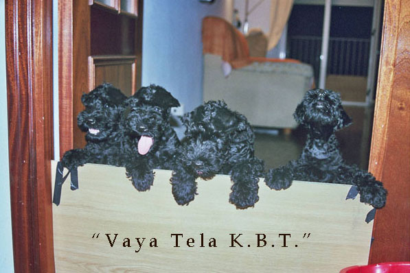 camadas de kerry blue terrier