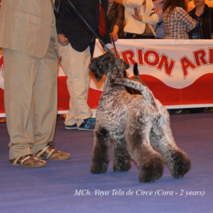 Cora En Mandatory Point Madrid Kerry Blue Terrier