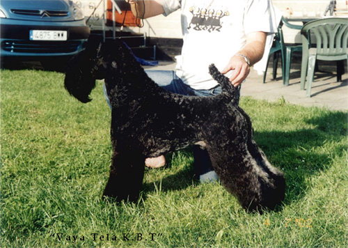 KERRY BLUE TERRIER VAYA TELA
