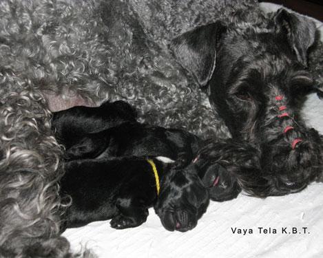Cachorros-camada-kerry-blue-terrier