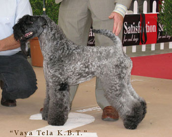 Kerry Blue Terrier En Zaragoza
