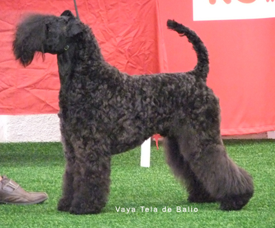 nemo kerry blue terrier expo finlandia