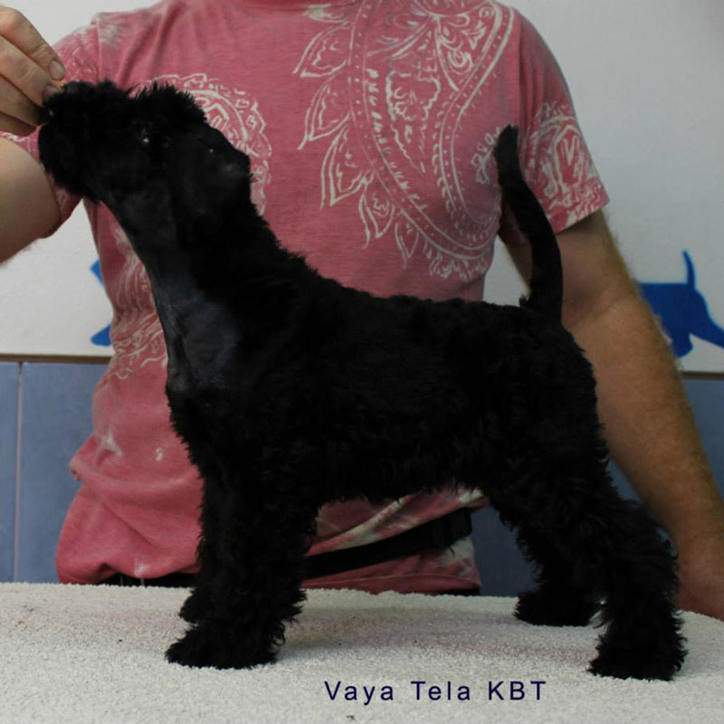 Cachorro Vaya Tela de Kerry Blue Terrier Destino