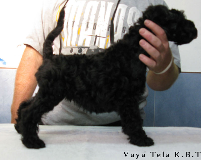 cachorro de kerry blue terrier