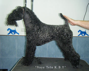 Artemisa Cachorro Kerry Blue Terrier