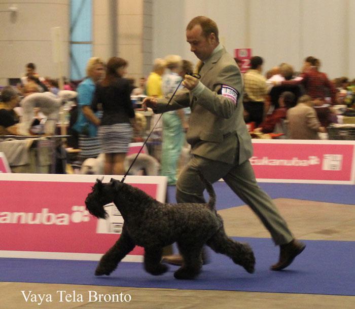 Bronto De Vaya Tela Kerry Blue Terrier En La Expo Ginebra 2013