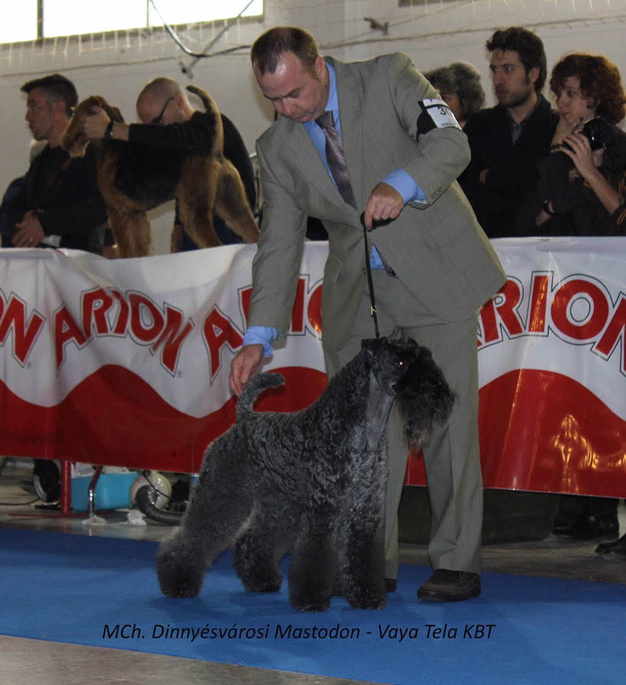 Kerry Blue Terrier Exposicion