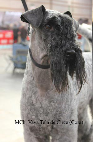 Kerry Blue Terrier Exposicion Cora