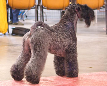 Kerry Blue Terrier Camadas