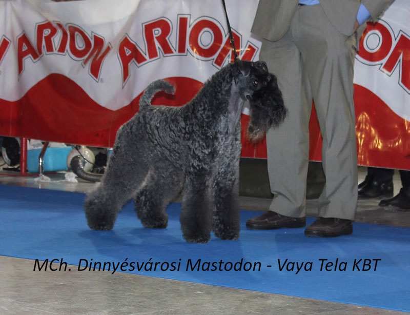 Kerry Blue Terrier Exposicion Canina