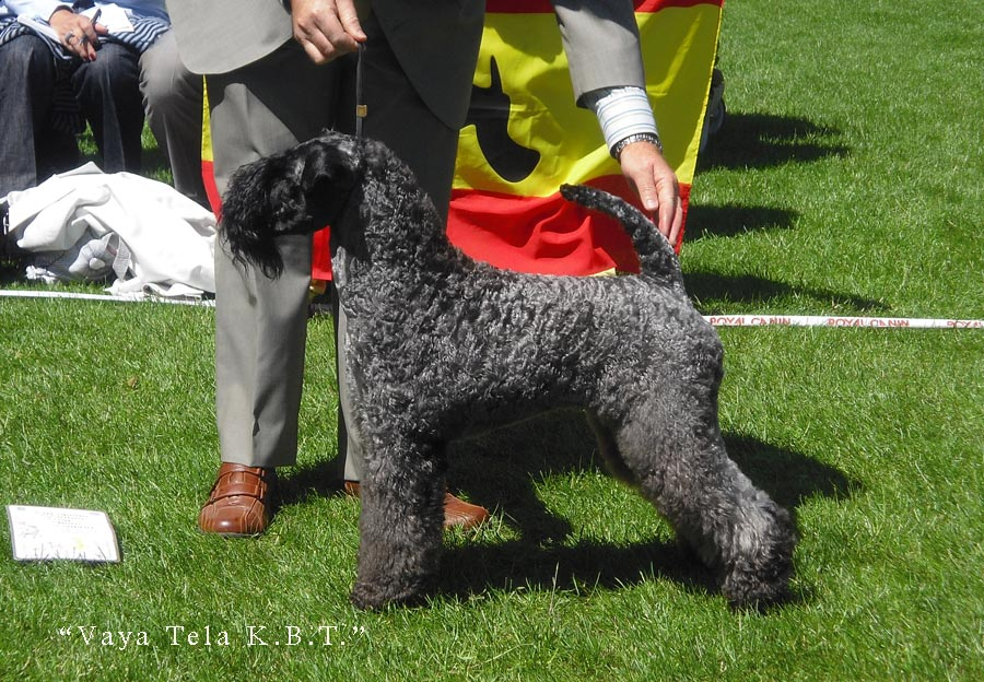 European Dog Show Dublin Kerry Blue Terrier
