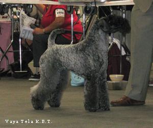 Jus De Vaya Tela De Kerry Blue Terrier En Pontoise 2010