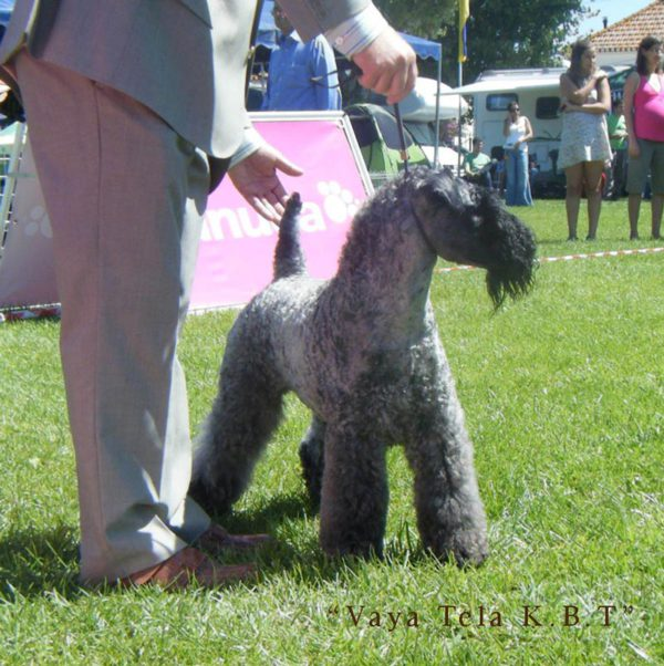Expo-sintra-kerry-blue-terrier-2009